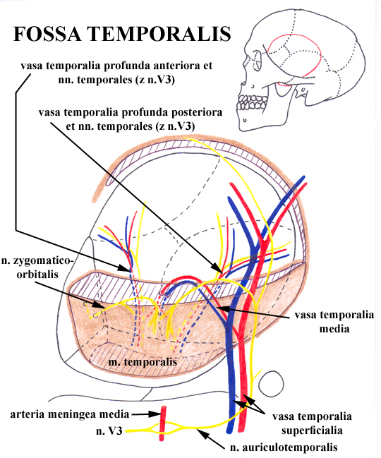 Anaesthesia For Ophthalmic Surgery besides Anatomy Education Presentation QVyMK8eQBW moreover Axilla8 furthermore Temporal And Infratemporal Fossa further Cross Sectional View Of Muscle Tissue. on superficial anatomy